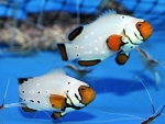 Amphiprion ocellaris frostbite Pair NZ