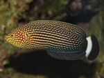Anampses lineatus - Linien-Lippfisch